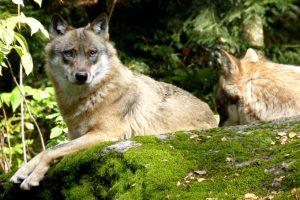 141001-nabu-wolf-karin-abrolat-30