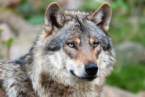 150208-nabu-wolf-christoph-bosch20