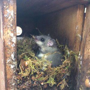 ein Mauswiesel o.s. sitzt in einem Moosnest im Nistkasten
