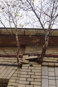 Zwei Birken wachsen aus der Hauswand