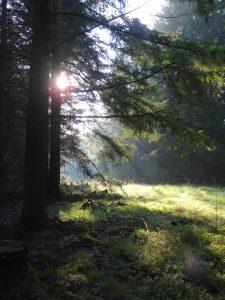 Schneise im Wald, bei Morgensonne