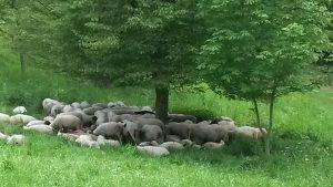 Schaafe unter einem Baum